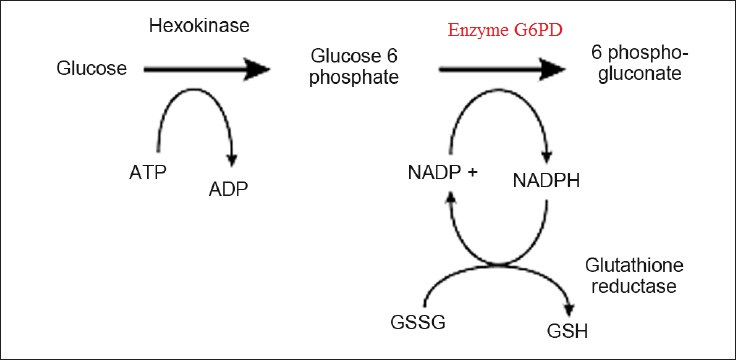 Enzyme G6PD